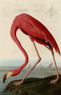 american_flamingo
